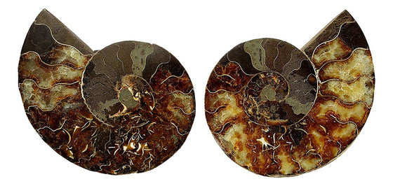 Genuine Ammonite Fossil Pair - Split and Polished - from Madagascar (7) - dinosaursrocksuperstore