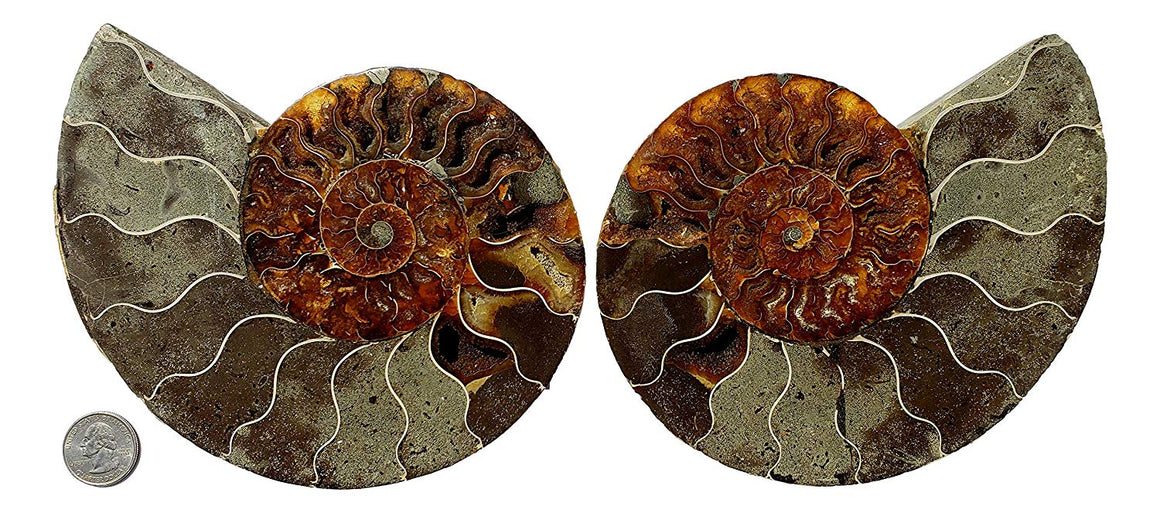 Genuine Ammonite Fossil Pair - Split and Polished - from Madagascar (6) - dinosaursrocksuperstore