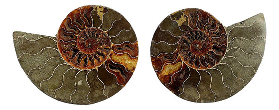 Genuine Ammonite Fossil Pair - Split and Polished - from Madagascar (2) - dinosaursrocksuperstore