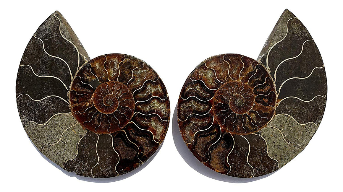 Genuine Ammonite Fossil Pair - Split and Polished - from Madagascar (15) - dinosaursrocksuperstore