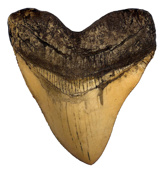 Ivory Megalodon Shark Tooth Museum Quality Replica with Serrations - dinosaursrocksuperstore