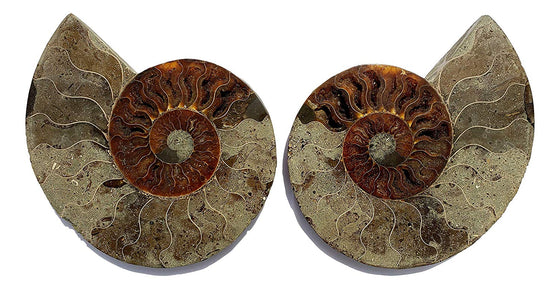 Genuine Ammonite Fossil Pair - Split and Polished - from Madagascar (16) - dinosaursrocksuperstore