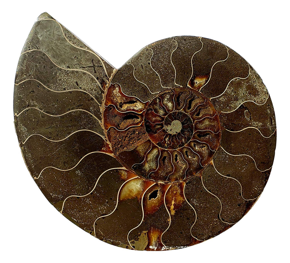 Genuine Ammonite Fossil Pair - Split and Polished - from Madagascar (3) - dinosaursrocksuperstore