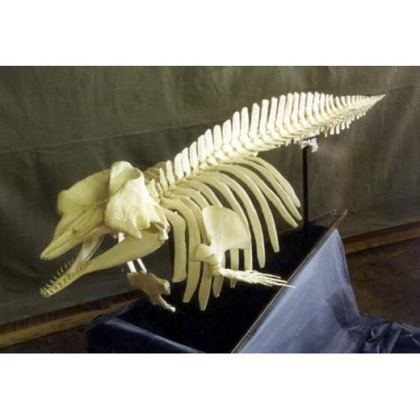Pygmy Sperm Whale Skeleton Replica Articulated - dinosaursrocksuperstore