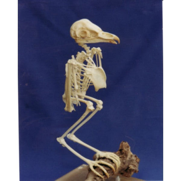 Barn Owl Skeleton | DINOSAURS ROCK SUPERSTORE | Fossil ...