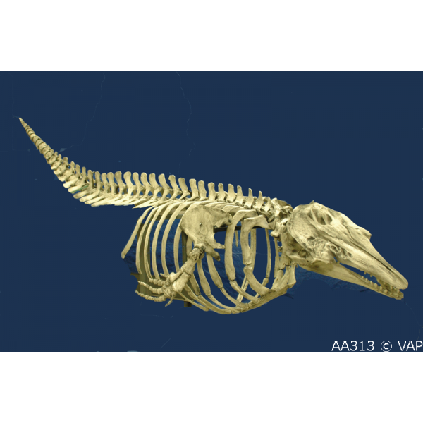 Beluga Skeleton Articulated Skeleton Replica - dinosaursrocksuperstore