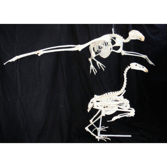 California Condor Mounted Skeleton Replica - dinosaursrocksuperstore