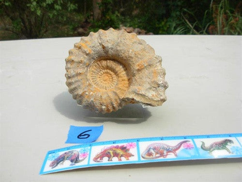 Genuine Ammonite - Morocco (representative photo) - dinosaursrocksuperstore