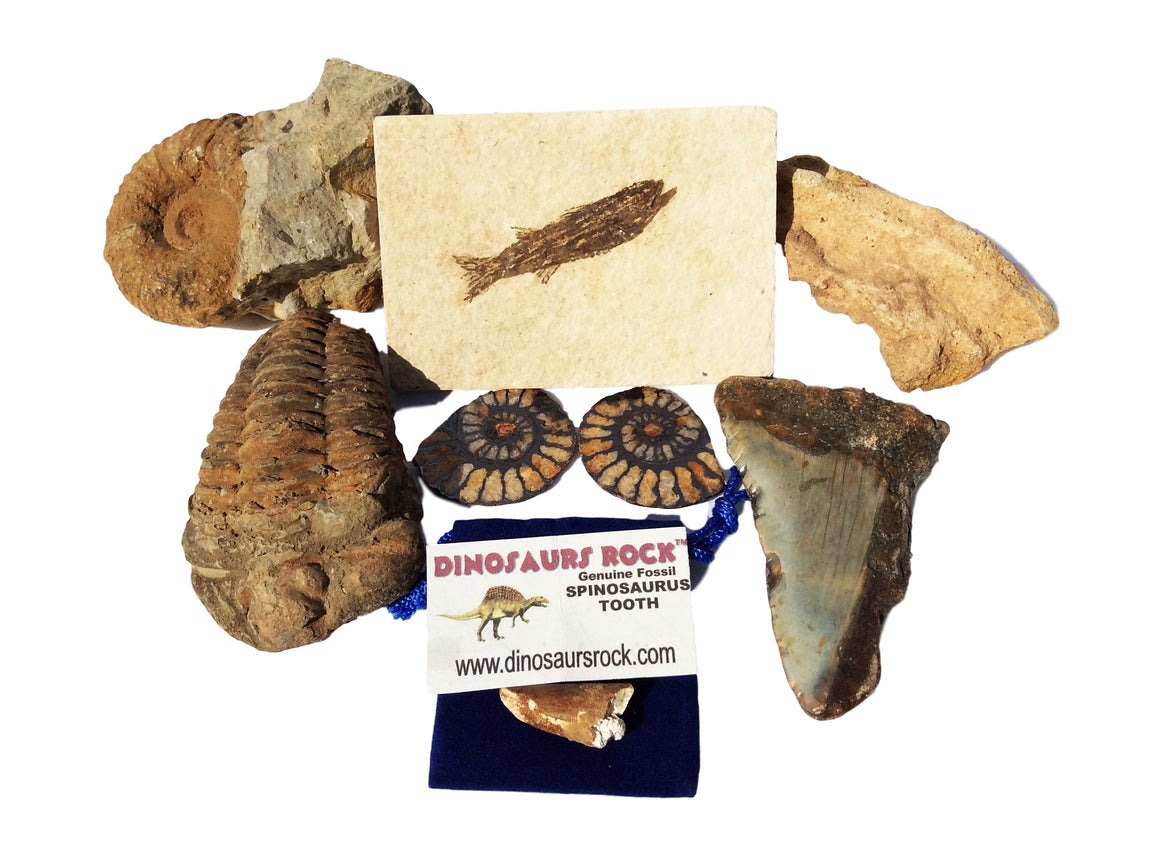 Exclusive Fossil Collection - 7 Specimens - Great gift! - dinosaursrocksuperstore