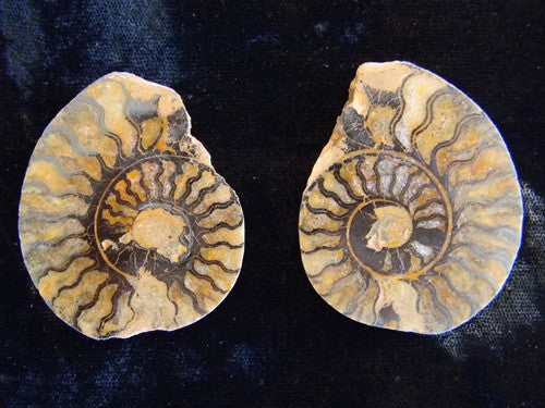 Genuine Fossil Ammonite Pair - Split & Polished - Gift Packaged