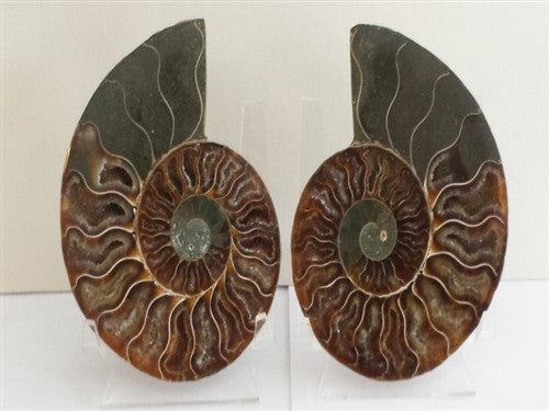 Genuine Ammonite Fossil Pair: Split & Polished - from Madagascar (10) - dinosaursrocksuperstore