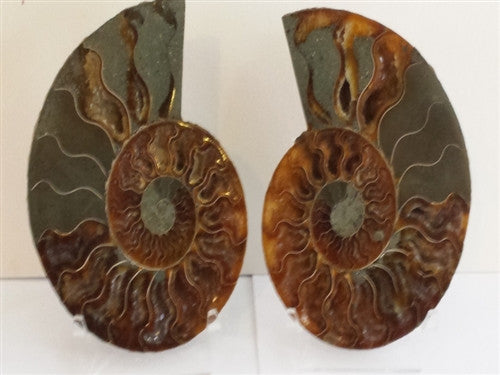"Genuine Ammonite Fossil Pair: Split & Polished 5"" wide - from Madagascar (15) - dinosaursrocksuperstore"