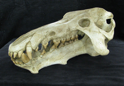 Archaeotherium Skull Replica - dinosaursrocksuperstore