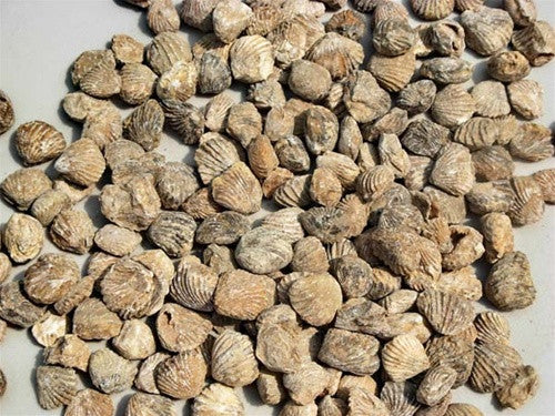 Bulk Fossils: Fossil Clam (Genuine Brachiopod)) Fossils by the pound - dinosaursrocksuperstore
