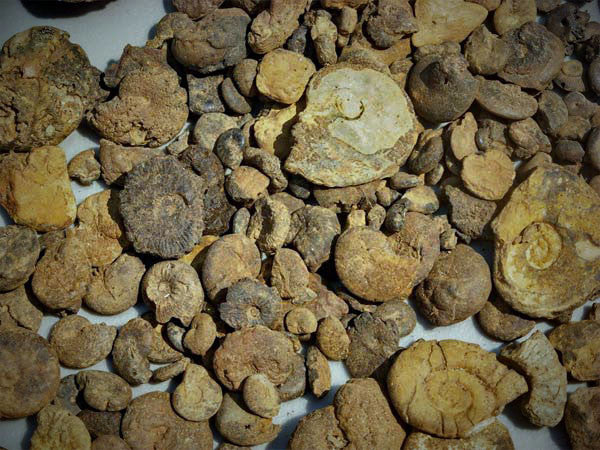 Bulk Fossils AMMONITES - Teacher Sampler - 20 Select Pcs. - dinosaursrocksuperstore