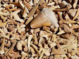 Bulk Fossils SHARK TEETH - Teacher Sampler - 50 Select Pcs. - dinosaursrocksuperstore