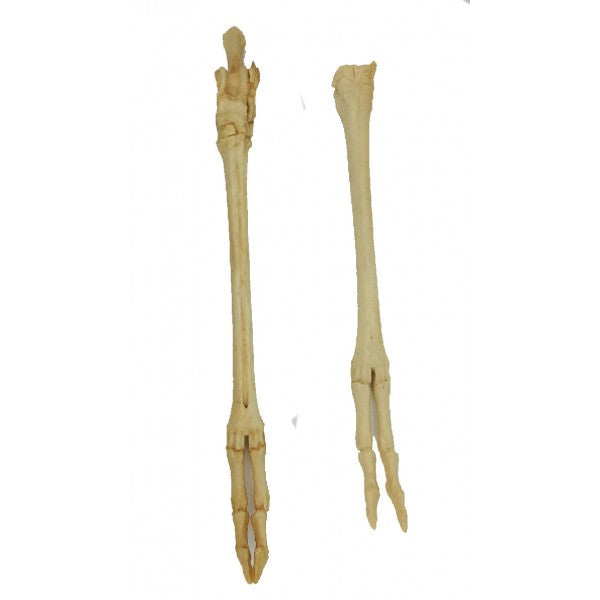 American Pronghorn Front foot - dinosaursrocksuperstore