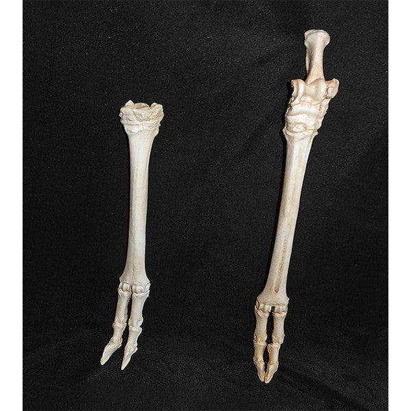 American Pronghorn Hind foot - dinosaursrocksuperstore