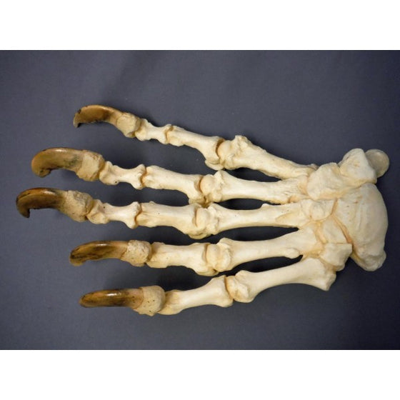 Polar Bear Front Hand Articulated Replica - dinosaursrocksuperstore