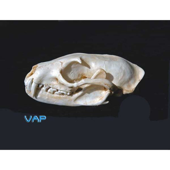 Asian Palm Civet Female Skull Replica - dinosaursrocksuperstore
