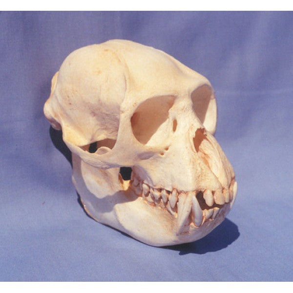 Colobus Monkey Male Skull - dinosaursrocksuperstore