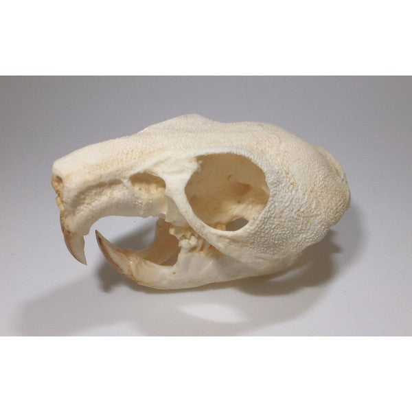 Maned Crested Rat Skull - dinosaursrocksuperstore