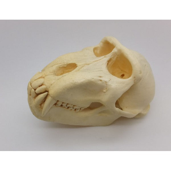 Celebes Macaque Monkey Male Skull - dinosaursrocksuperstore