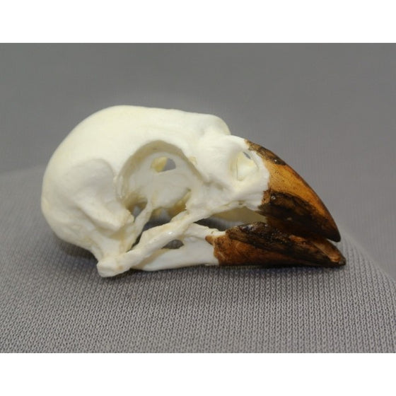 Medium Ground Finch Skull - dinosaursrocksuperstore