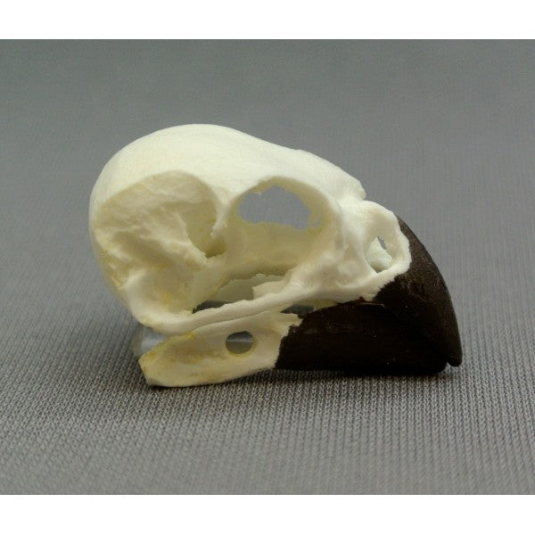 Woodpecker Finch Skull - dinosaursrocksuperstore