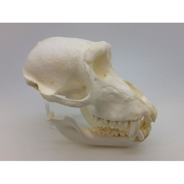 Crab-eating Macaque Male Skull - dinosaursrocksuperstore