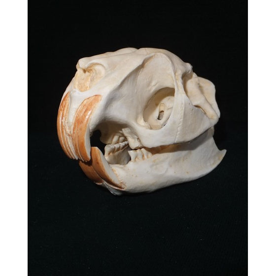 Greater Cane Rat Skull - dinosaursrocksuperstore