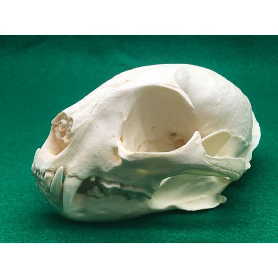 African Golden Cat Female Skull - dinosaursrocksuperstore