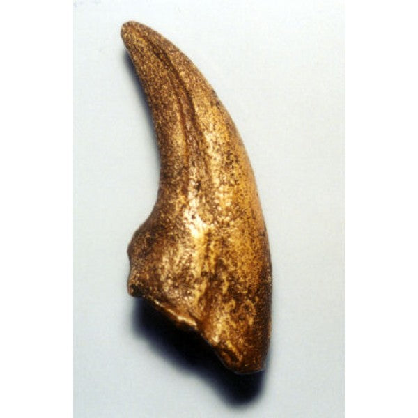 Nanotyrannus Foot Claw Replica - dinosaursrocksuperstore