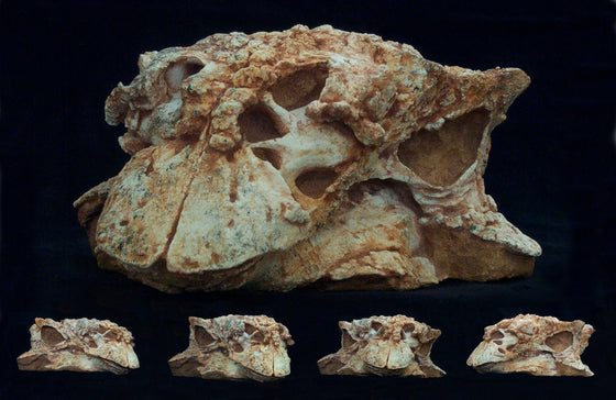 Pinacosaurus Adult Skull Replica in matrix - dinosaursrocksuperstore