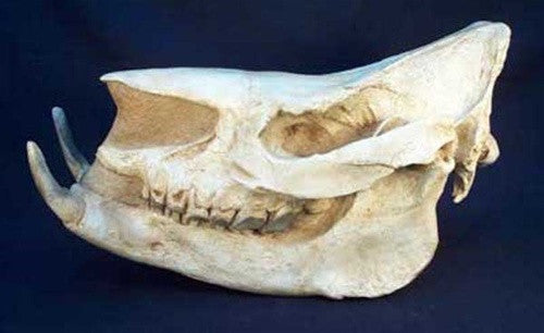 Chilotherium Skull (Ice Age) Fossil Replica - dinosaursrocksuperstore