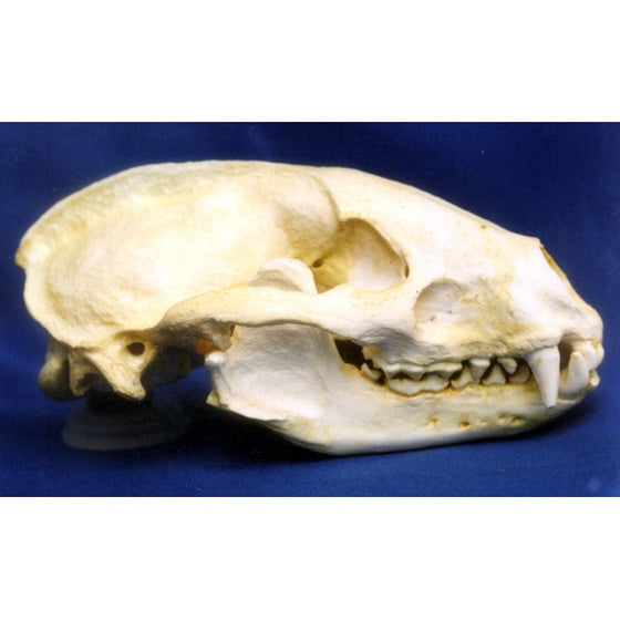 European Badger Female Skull Replica - dinosaursrocksuperstore