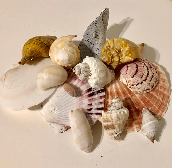 """Fancy"" Seashell Variety Pack - 100 pieces - 1""-4"""