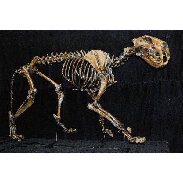 American Lion Mounted Skeleton Replica - dinosaursrocksuperstore