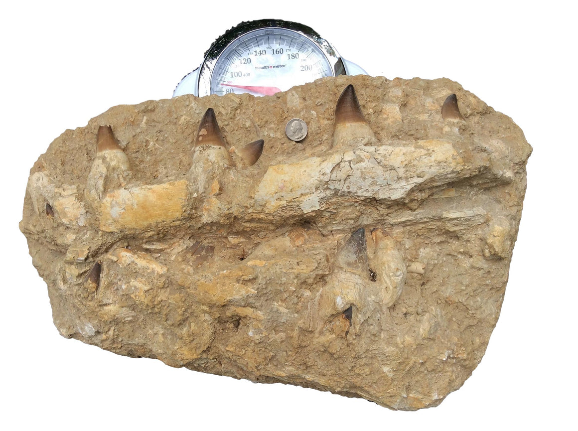 Genuine HUGE FOSSIL MOSASAUR JAW - dinosaursrocksuperstore