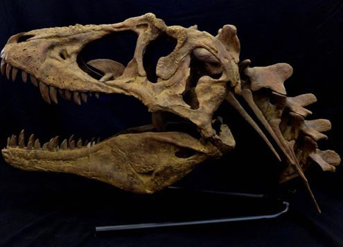 Lythronax Tyrannosaur Skull Replica with neck and base - dinosaursrocksuperstore