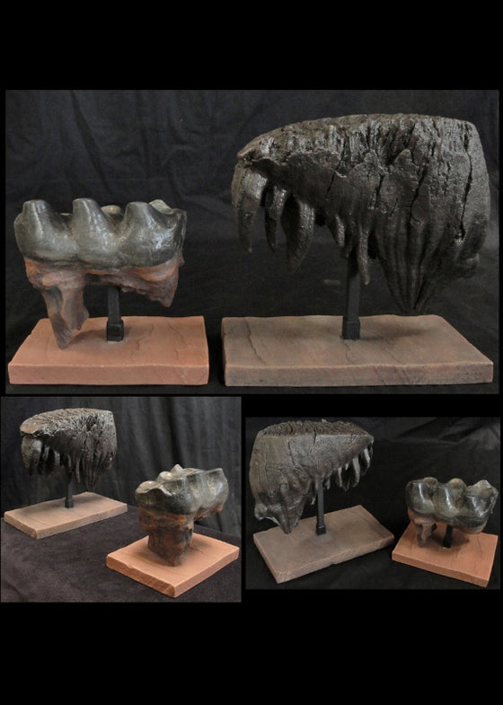 Mammoth and Mastodon Tooth Replica Set w/ bases - dinosaursrocksuperstore