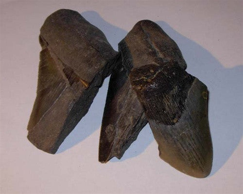 Genuine MEGALODON TEETH Fragment - dinosaursrocksuperstore