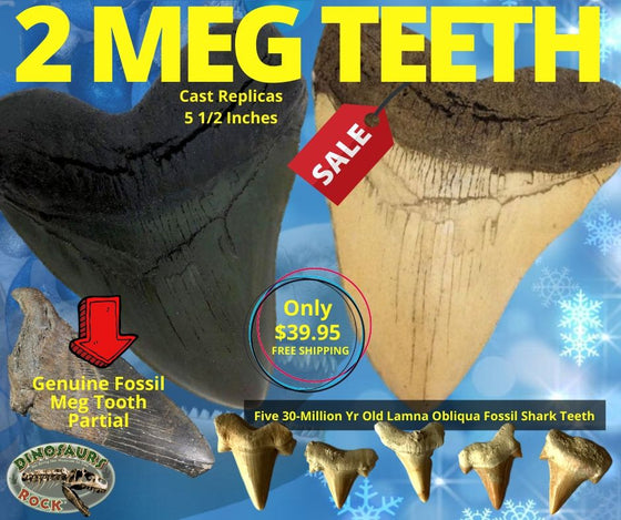 Two MEG Teeth, One Genuine Partial Megalodon Tooth & Five Lamna Oblique Shark Teeth... - dinosaursrocksuperstore