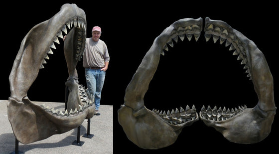 Megalodon Jaw - dinosaursrocksuperstore