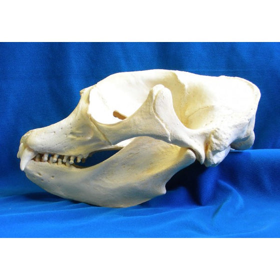 California Elephant Seal Female Skull Replica - dinosaursrocksuperstore