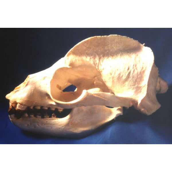 California Sea Lion Zalophus Californianus Male Skull Replica - dinosaursrocksuperstore