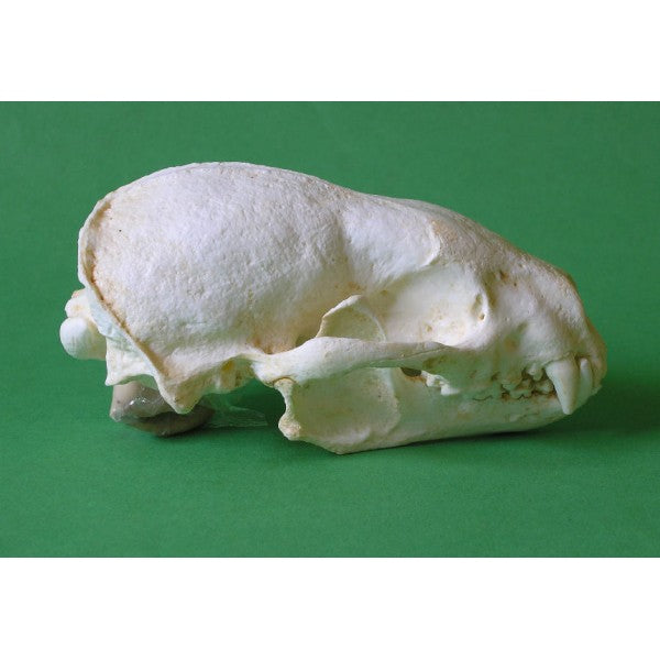 Honey Badger Skull Replica - dinosaursrocksuperstore