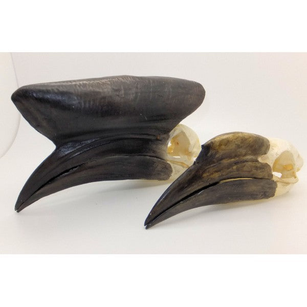 Black-casqued Hornbill Skull (Female) - dinosaursrocksuperstore