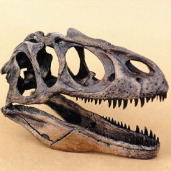 Allosaurus Skull 1/4 Scale Model - dinosaursrocksuperstore