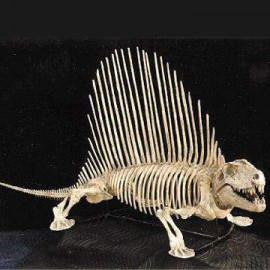 DIMETRODON Limbatus BYU SKELETON Replica MOUNTED AND CRATED - dinosaursrocksuperstore